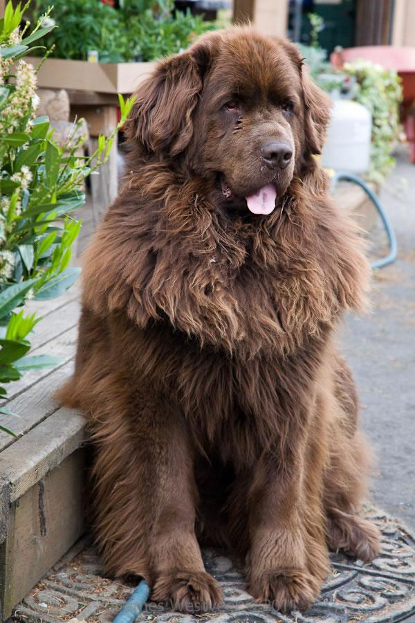 Brown Fluffy Dog Breeds